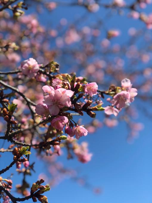 河津桜の季節_d0182179_11384924.jpg