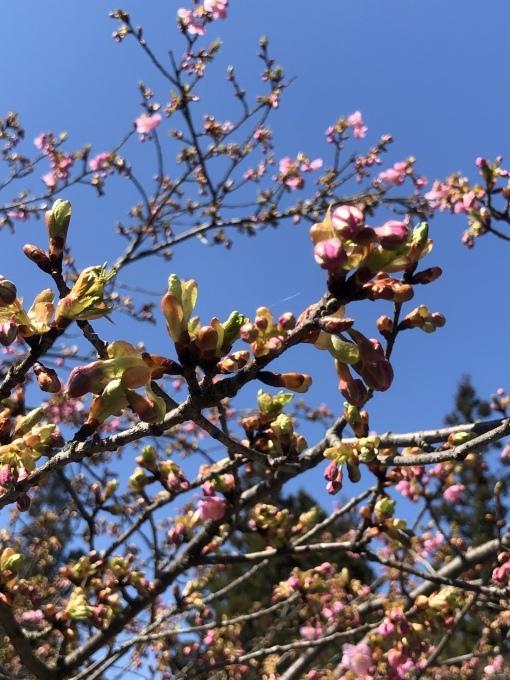 河津桜の季節_d0182179_13465112.jpeg