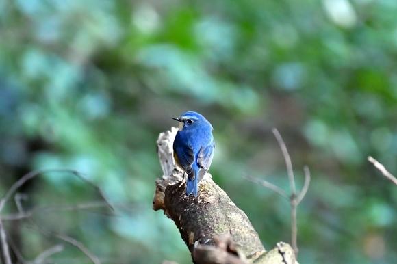 北摂のお山で鳥さん撮影  カワガラス 雛_c0164881_14200151.jpg