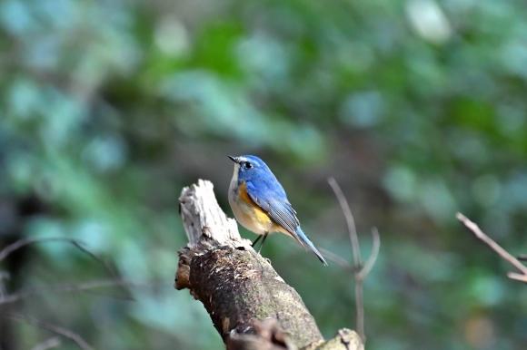 北摂のお山で鳥さん撮影  カワガラス 雛_c0164881_14200309.jpg