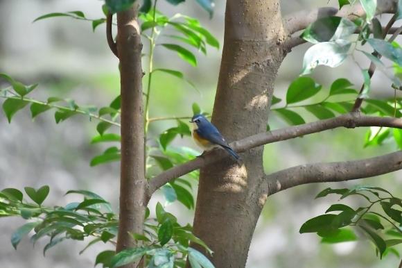 北摂のお山で鳥さん撮影  カワガラス 雛_c0164881_14203744.jpg