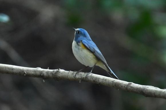 北摂のお山で鳥さん撮影  カワガラス 雛_c0164881_14203817.jpg