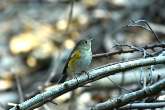 北摂のお山で鳥さん撮影  カワガラス 雛_c0164881_14210417.jpg