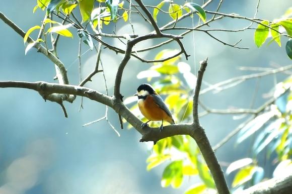 北摂のお山で鳥さん撮影  カワガラス 雛_c0164881_14212465.jpg