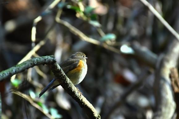 北摂のお山で鳥さん撮影  カワガラス 雛_c0164881_14215510.jpg