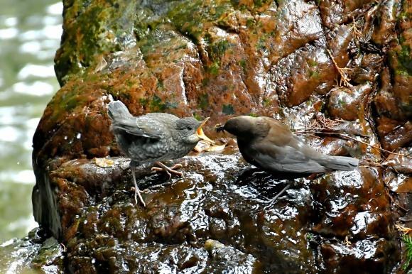 北摂のお山で鳥さん撮影  カワガラス 雛_c0164881_14283068.jpg