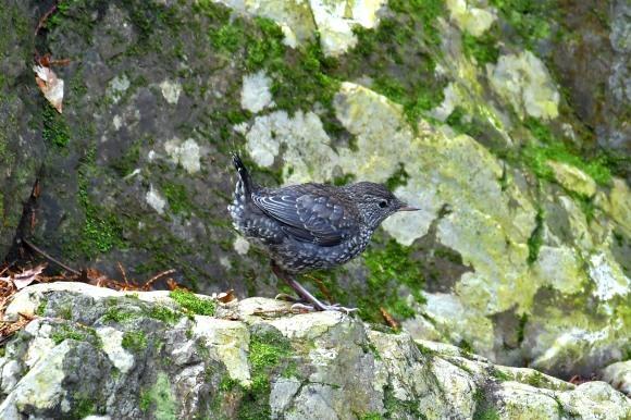 北摂のお山で鳥さん撮影  カワガラス 雛_c0164881_14290693.jpg