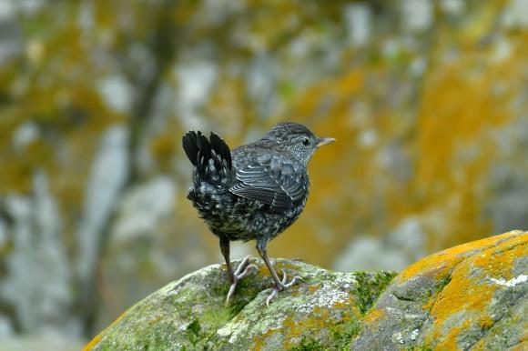 北摂のお山で鳥さん撮影  カワガラス 雛_c0164881_14332272.jpg