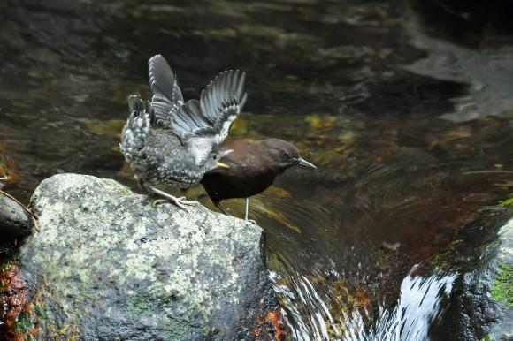 北摂のお山で鳥さん撮影  カワガラス 雛_c0164881_14332343.jpg