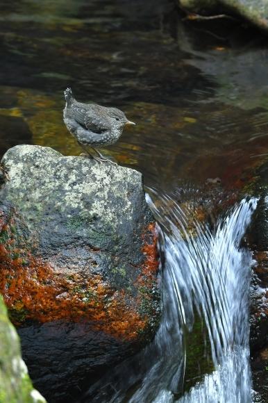 北摂のお山で鳥さん撮影  カワガラス 雛_c0164881_14344785.jpg
