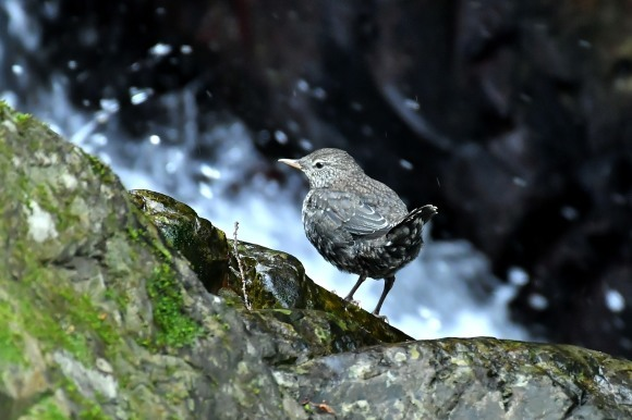 北摂のお山で鳥さん撮影  カワガラス 雛_c0164881_14344852.jpg