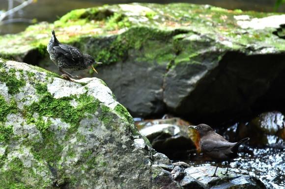 北摂のお山で鳥さん撮影  カワガラス 雛_c0164881_14354622.jpg