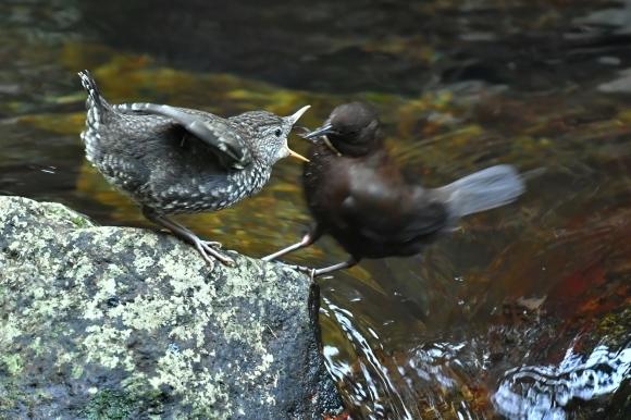 北摂のお山で鳥さん撮影  カワガラス 雛_c0164881_14435365.jpg