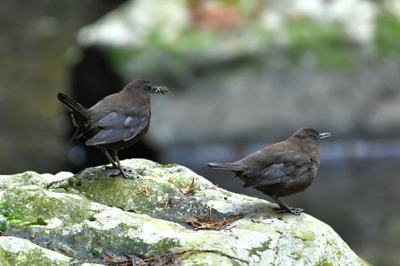 北摂のお山で鳥さん撮影  カワガラス 雛_c0164881_14435395.jpg