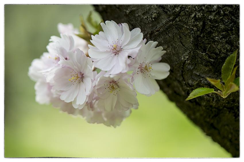 桜_d0111087_04165001.jpg