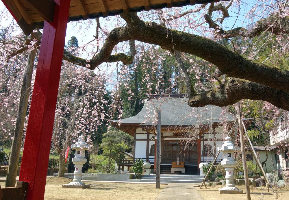 願成就寺の枝垂桜(しだれざくら)_b0114798_16140206.jpg