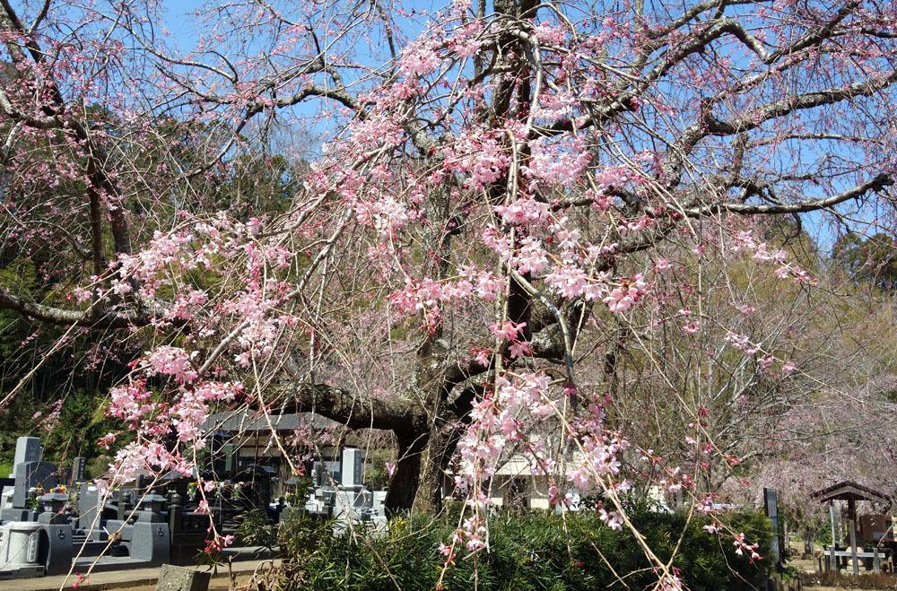 願成就寺の枝垂桜(しだれざくら)_b0114798_16141547.jpg