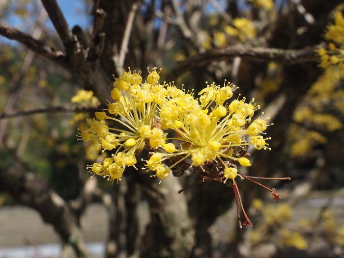 山茱萸の花が満開_c0116915_23414016.jpg