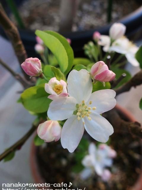 ベランダガーデン*姫リンゴの花_d0147030_21004565.jpg