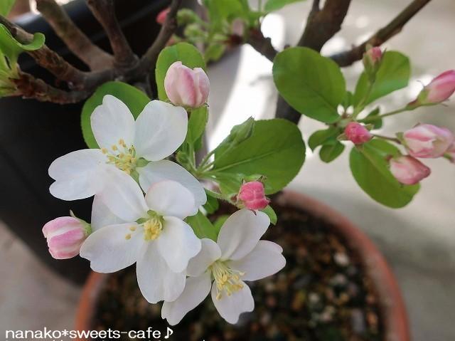 ベランダガーデン*姫リンゴの花_d0147030_21005334.jpg