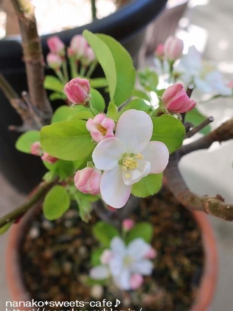 ベランダガーデン*姫リンゴの花_d0147030_21010884.jpg