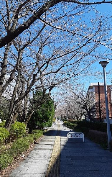 桜咲く_e0307335_19595925.jpg