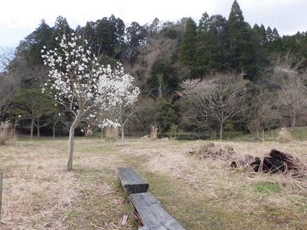 春分の日、ソメイヨシノ開花_a0123836_16414214.jpg