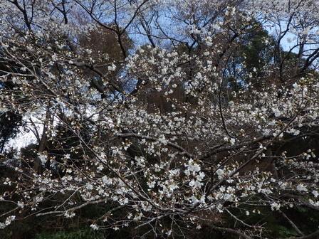 春分の日、ソメイヨシノ開花_a0123836_16414265.jpg