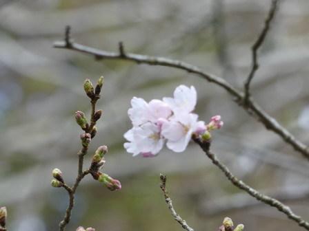 春分の日、ソメイヨシノ開花_a0123836_16414350.jpg