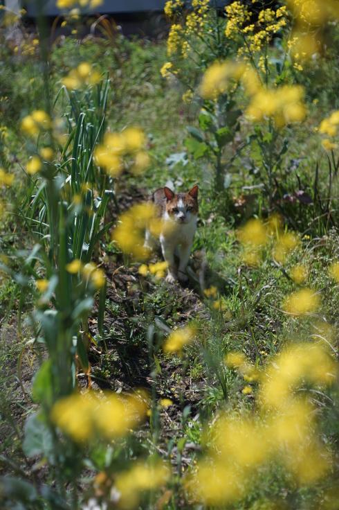菜ノハナの花咲く畑で #3_b0060239_14430663.jpg