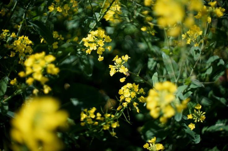 菜ノハナの花咲く畑で #3_b0060239_14443869.jpg