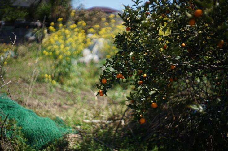 菜ノハナの花咲く畑で #3_b0060239_14450103.jpg