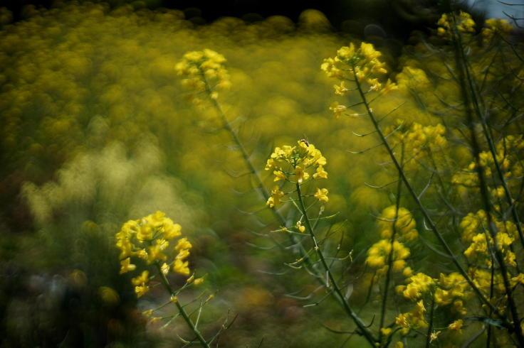 菜ノハナの花咲く畑で #3_b0060239_14460453.jpg