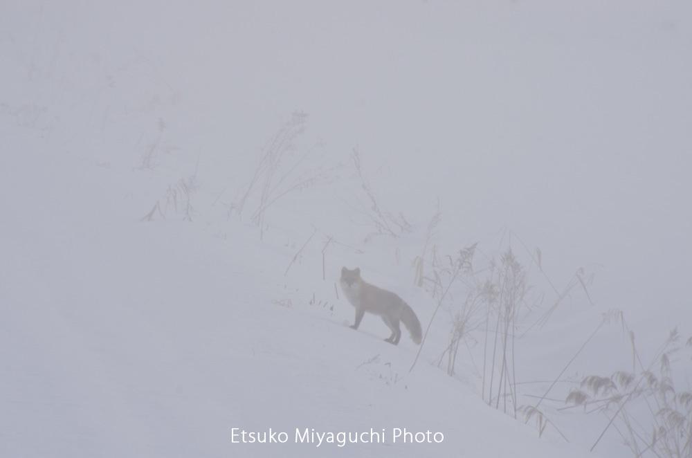 キタキツネは霧の中_f0152939_06294118.jpg