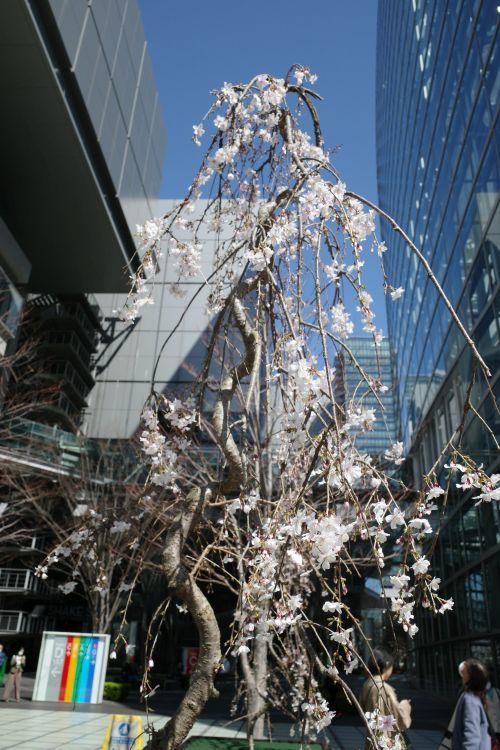 本日の桜_e0080345_17304622.jpg