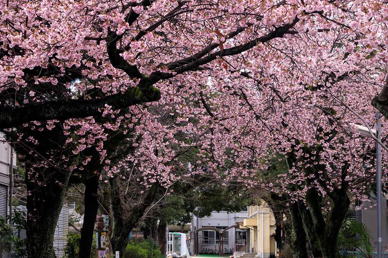 Prologue 2020桜咲く京都 卒業式を彩る桜(南浜小学校)_f0155048_2252346.jpg