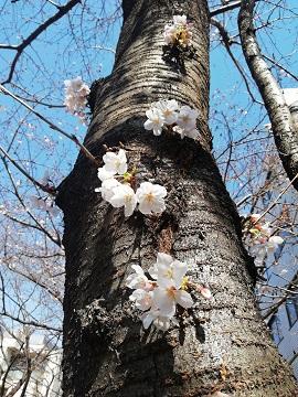 ソメイヨシノ_a0061057_2404884.jpg