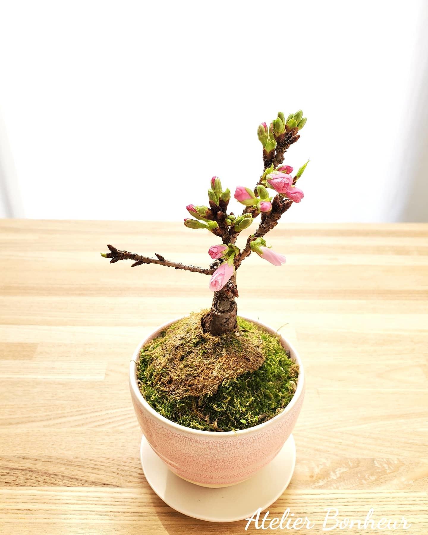 桜の盆栽_a0075065_12412587.jpg