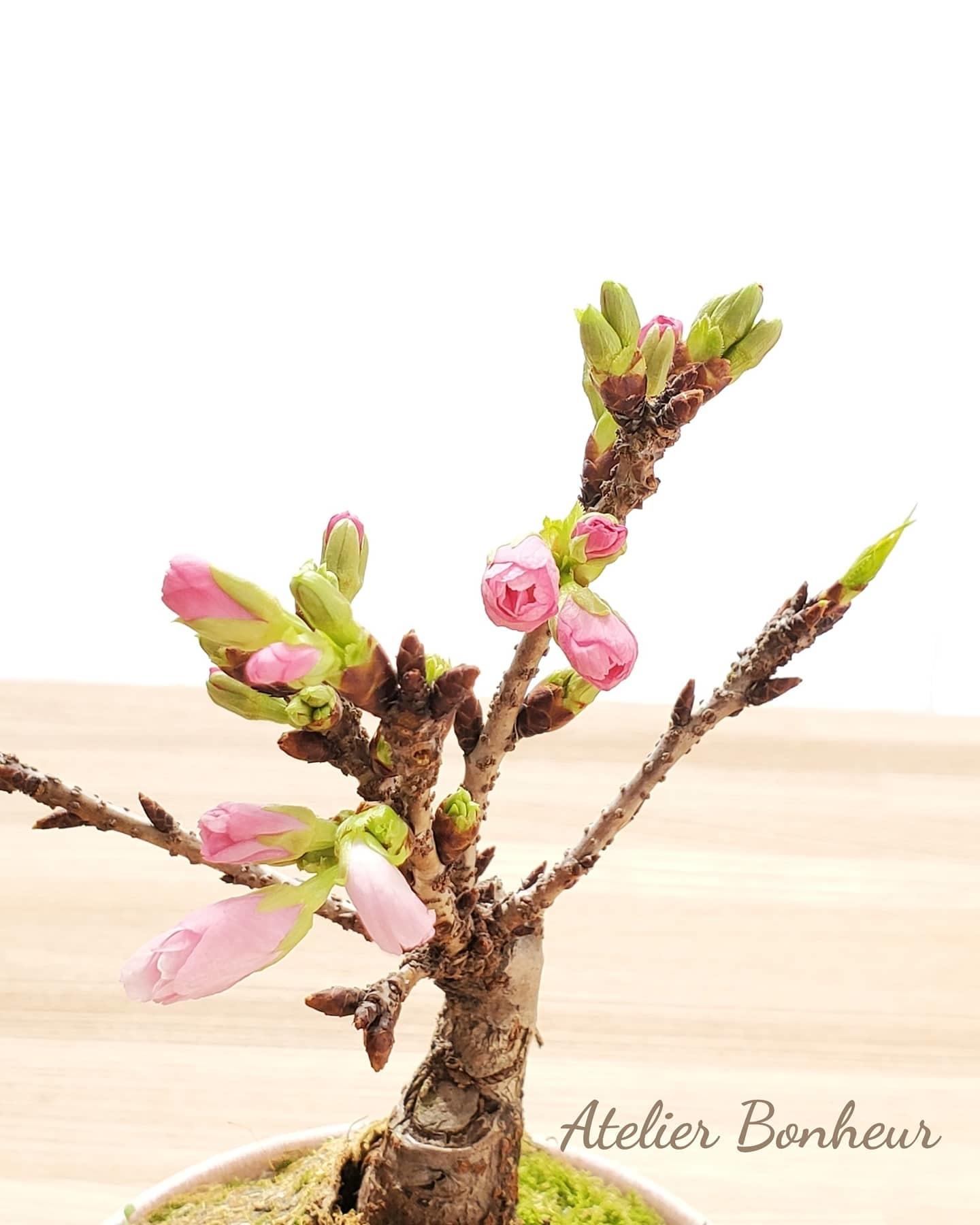 桜の盆栽_a0075065_12424366.jpg