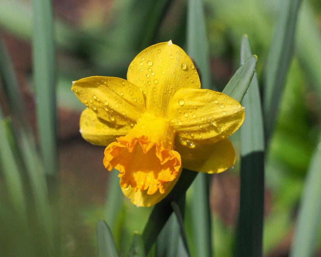 春爛漫のガーデンで 花々_c0305565_17381586.jpg