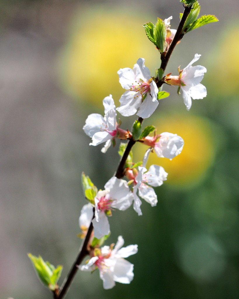 春爛漫のガーデンで 花々_c0305565_17402430.jpg