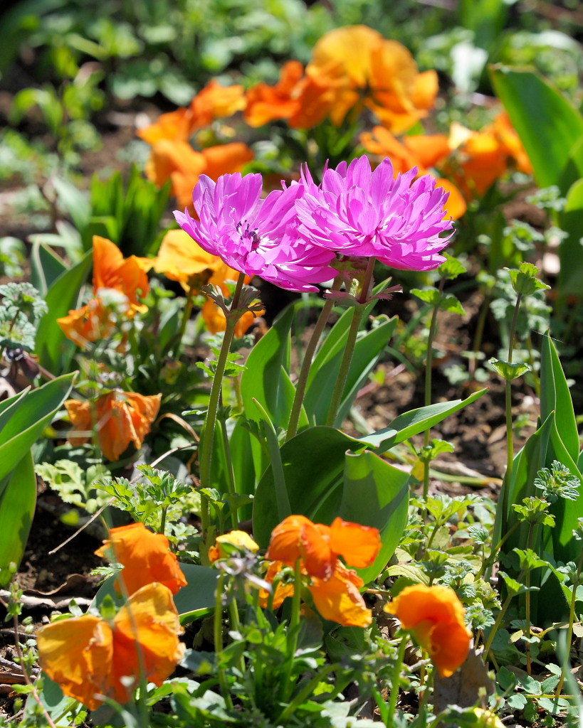 春爛漫のガーデンで 花々_c0305565_17423202.jpg