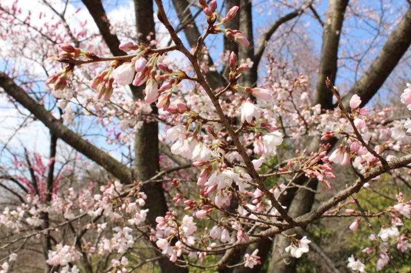 3月20日 桜をもとめて_a0023466_21181917.jpg