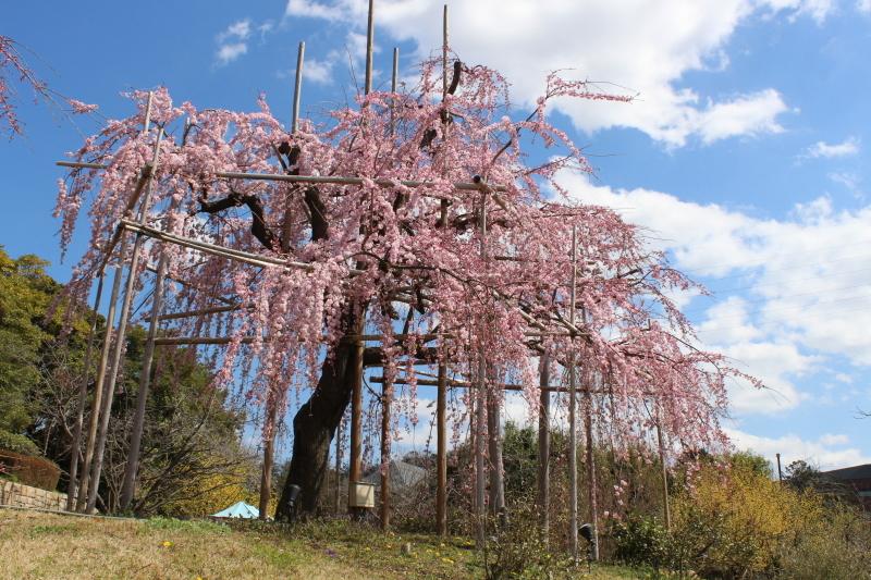 3月20日 桜をもとめて_a0023466_21183556.jpg