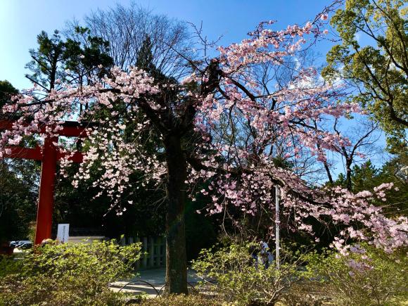 円山公園(まるやま)の桜_d0339676_17033987.jpg