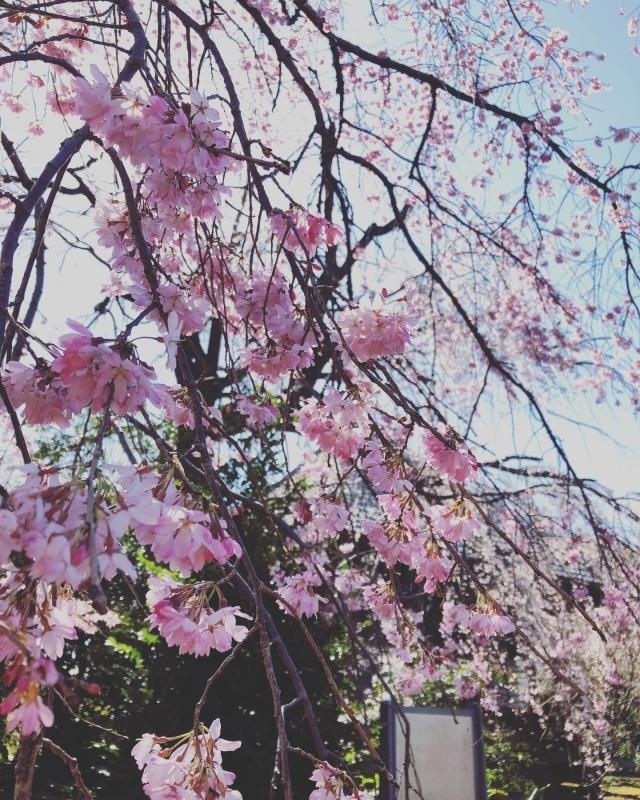 桜の下で_a0129492_19521657.jpeg