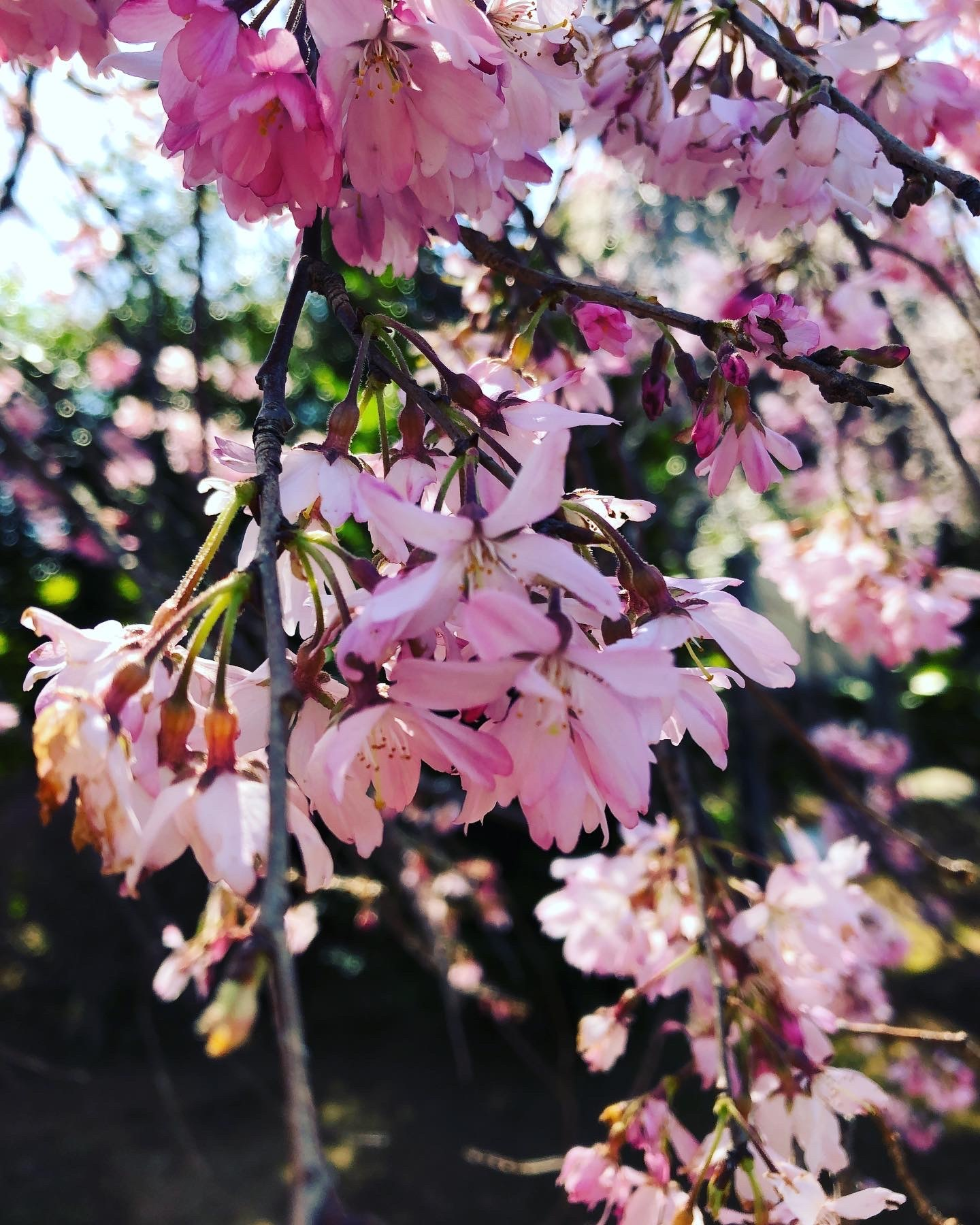 桜の下で_a0129492_19592756.jpeg