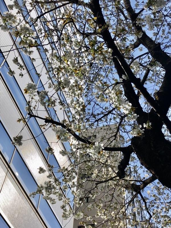 桜の下で_a0129492_20161829.jpeg