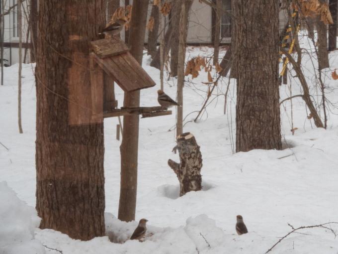 雪どけが進む3月後半・・シメの大群が去ってからエゾリス君_f0276498_00205556.jpg