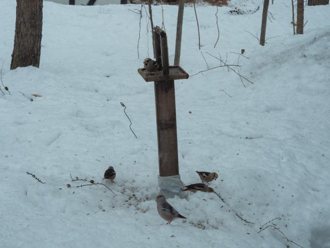 雪どけが進む3月後半・・シメの大群が去ってからエゾリス君_f0276498_00211669.jpg